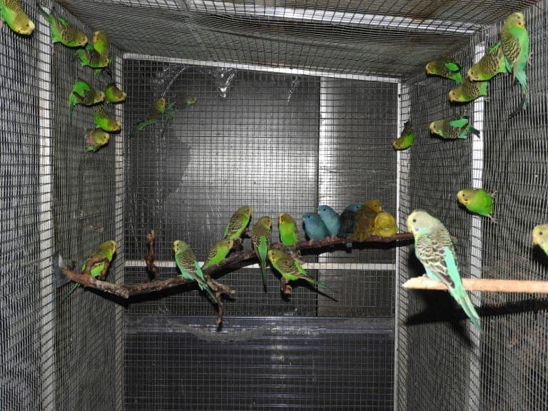 Budgerigar, a cosy parakeet