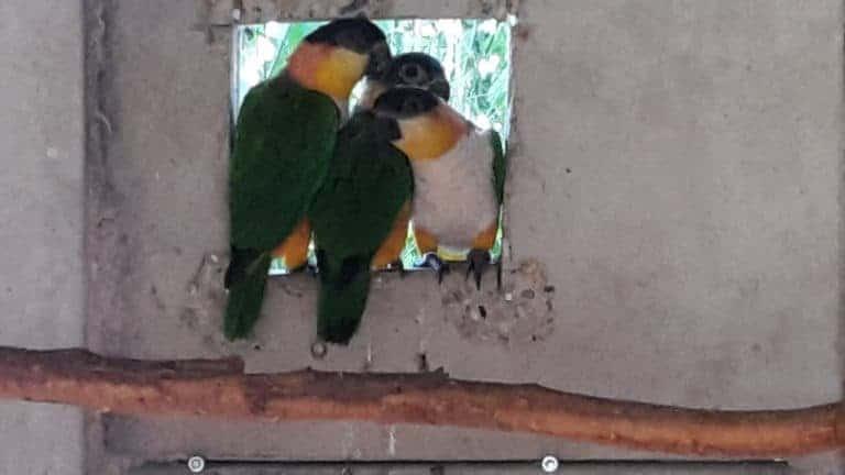 Zwartkop caique, de clown onder de papegaaien