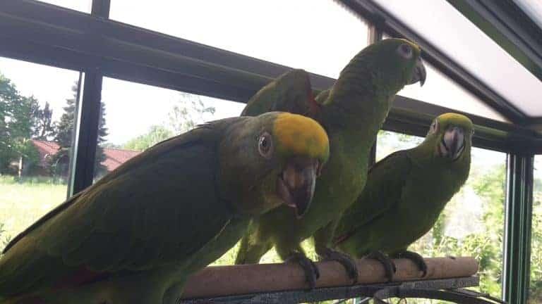 Top 12 beste papegaaien soorten