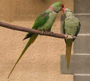 Large alexander parakeet couple