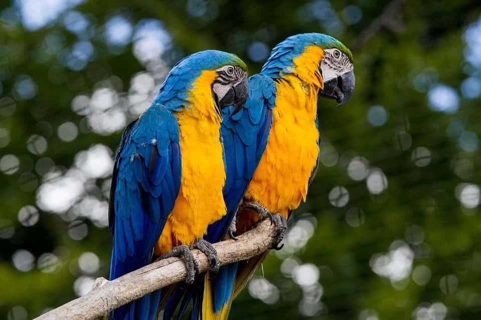 Blauw gele ara's
