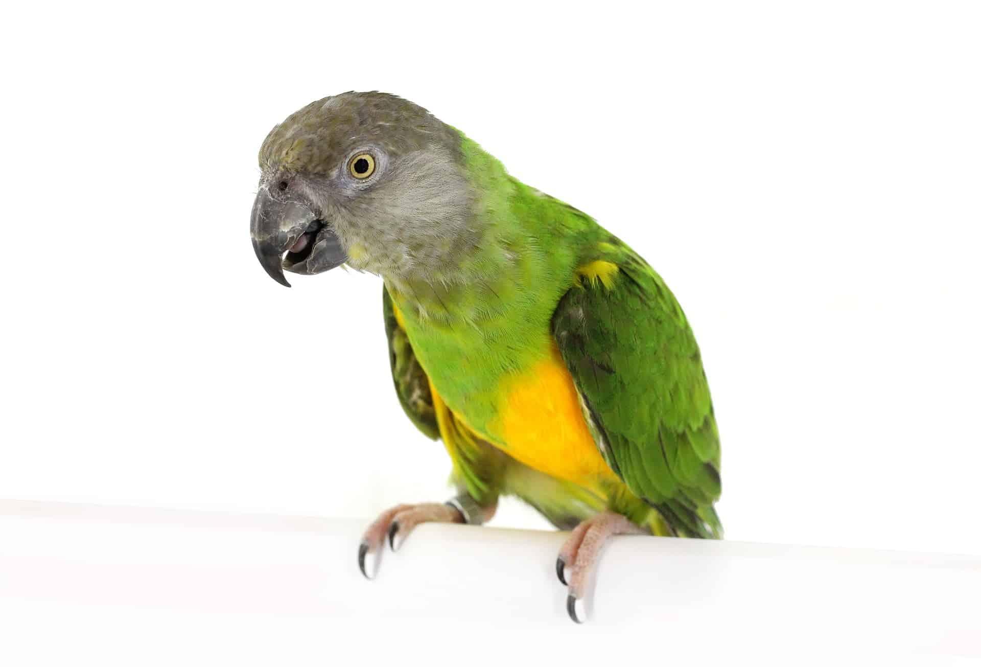 Bonte boer of senegal papegaai