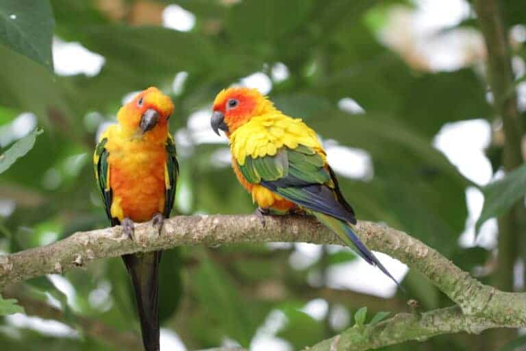 Sun Conure: breeding, food, info and more