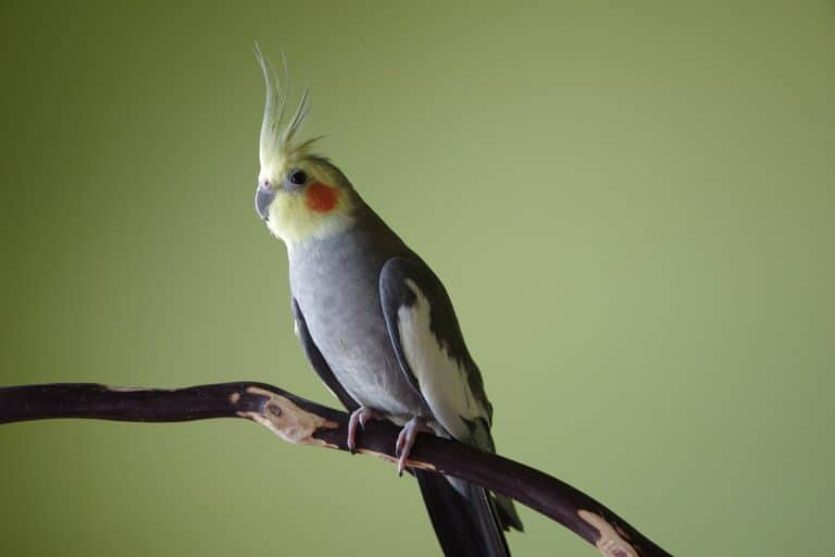 Cockatiel age: How To Tell The Age Of A Cockatiel?