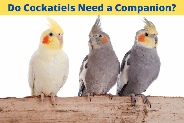 Do Cockatiels Need a Companion?