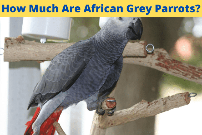 How Much Are African Grey Parrots?