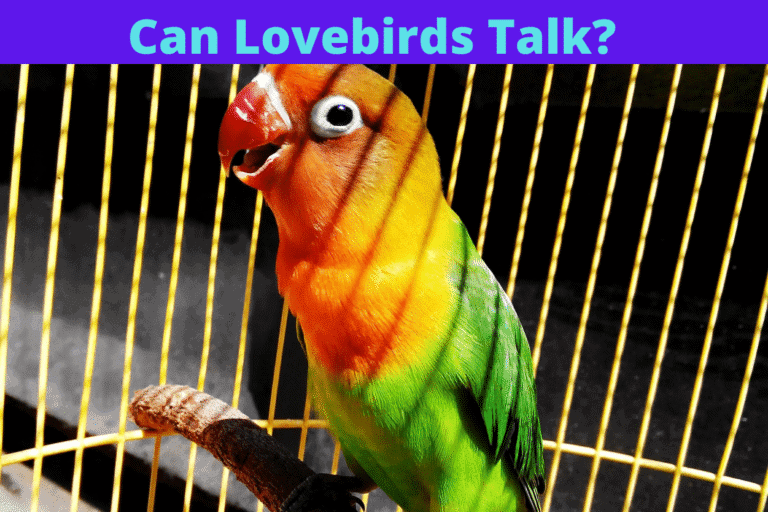 Can Love Birds Talk? If so, How To Make Them Do It?