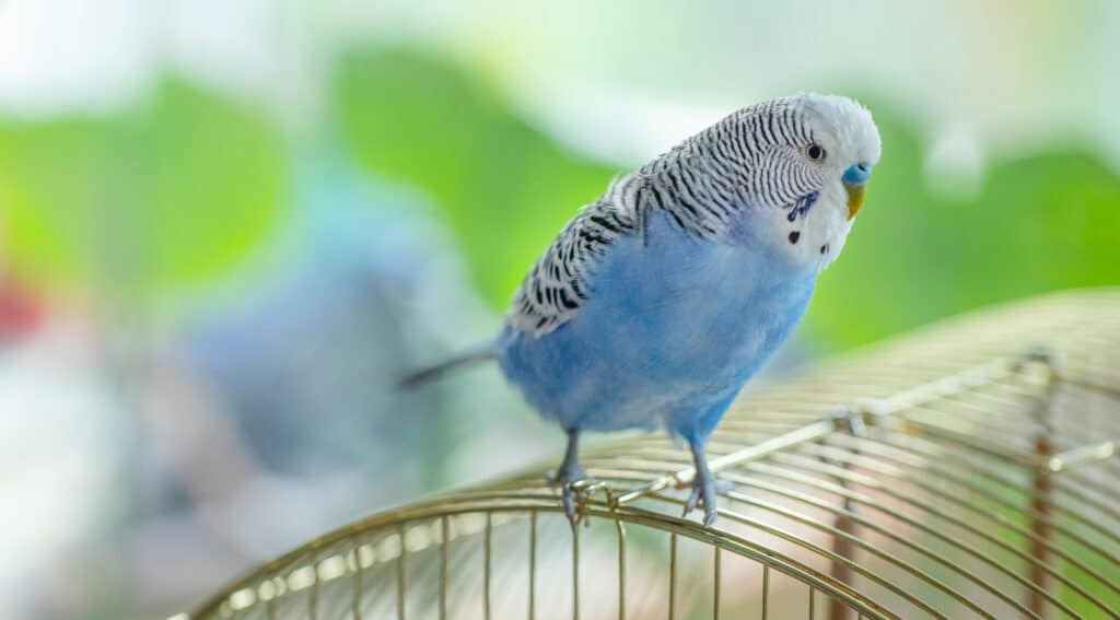 how to tame a budgie