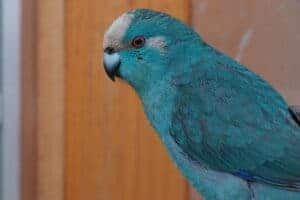 kakariki blauw