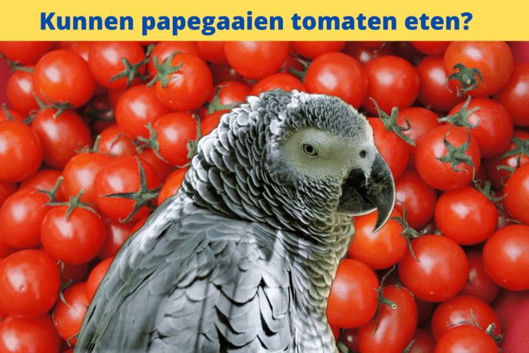 Mogen papegaaien tomaten eten?